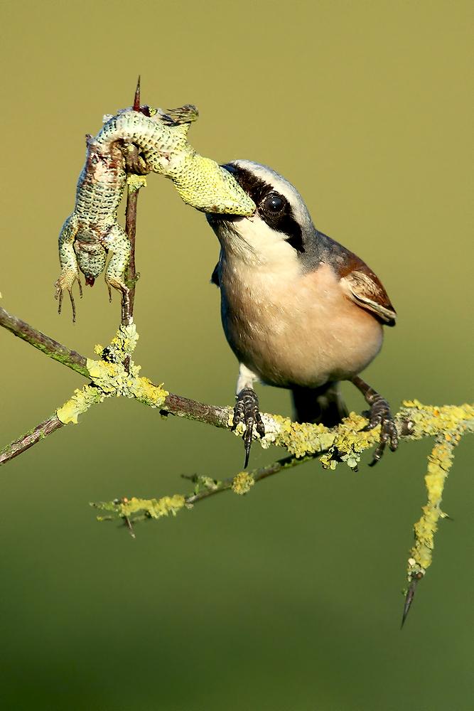 NEUNTÖTER Foto & Bild | natur, tiere, vögel Bilder auf