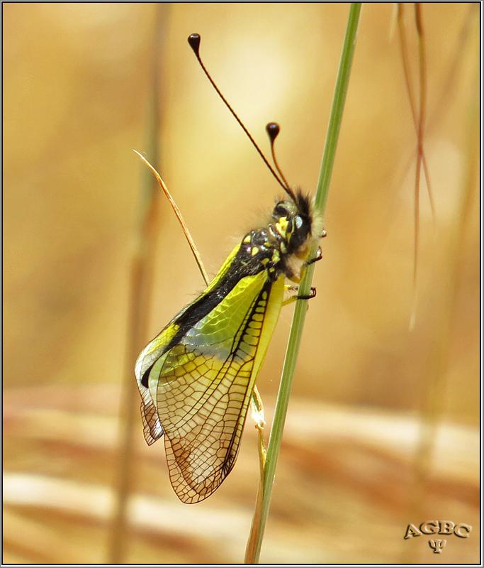 Neuroptero - Libelloides baeticus