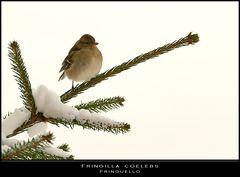 Neve con... fringuello