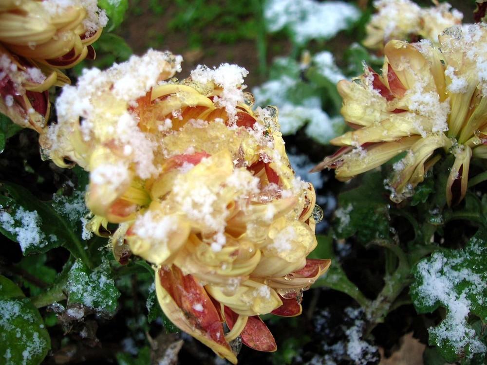 Neve sui crisantemi