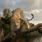 Never trust a Leopard.