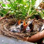 New Blackbird-family on my terrace 1