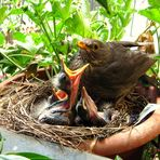 New Blackbird-family on my terrace 2