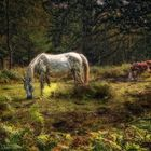 New-Forest-Pony