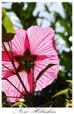 New Hibiskusblüte im Gegenlicht.