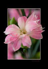 New Species [Carnation]