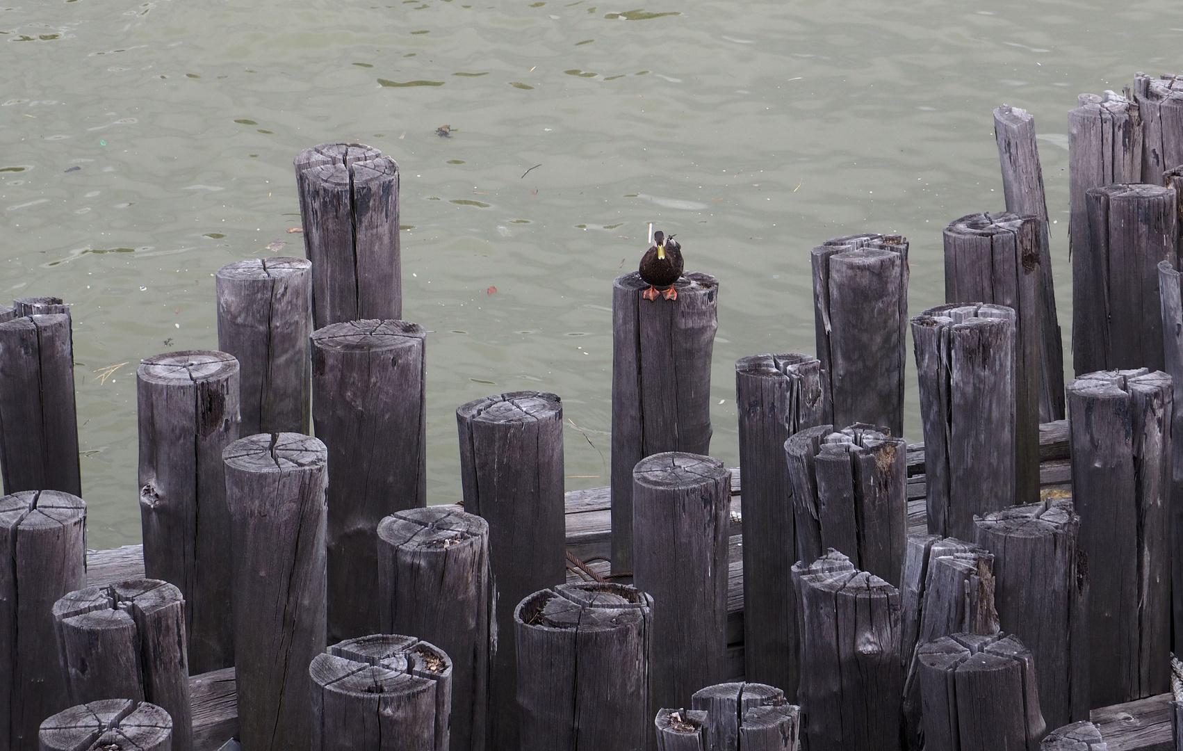 New Yorker Enten Sind Super Cool Foto Bild Meer Natur