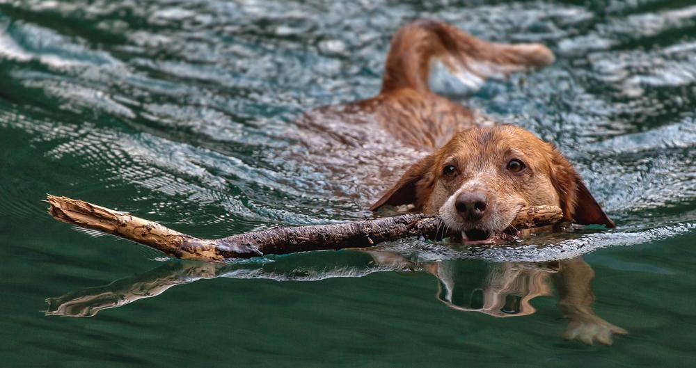 Newa apportiert Stöckchen im Grünen See!
