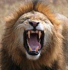 Ngorongoro Crater - laeufiger Loewe