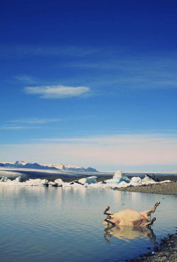 Nice dead sheep with iceberg, Iceland