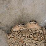 Nichée d'hirondelles des rochers 2017