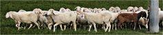 Nicht alle Schafe ...
