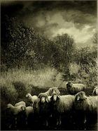Nicht einmal friedliche Schafe...