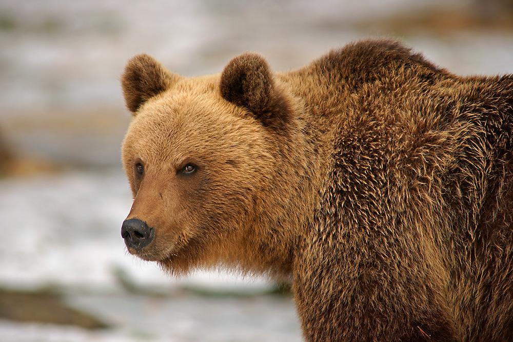 Nicht nur bei Haribo gibt es Goldbären ...