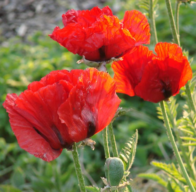 Nicht nur eine Blume sondern auch die Quelle gewaltiger Probleme