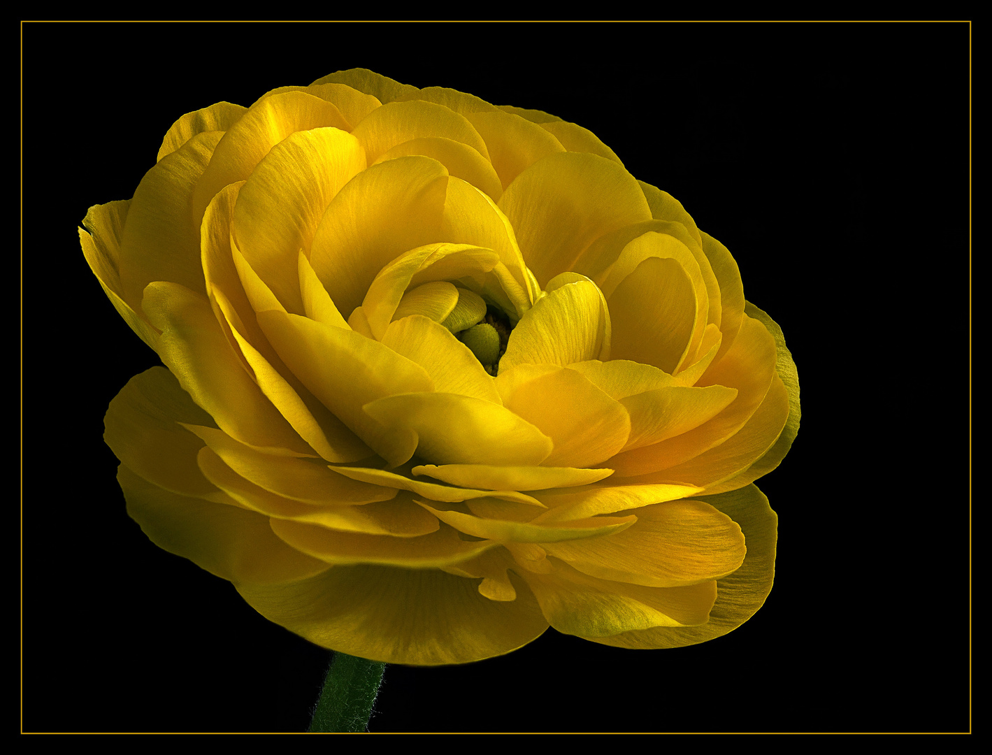 Nicht umsonst nennt man die wundervollen Ranunkeln auch - Rosen des Frühlings