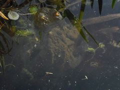 Nichtschwimmerkröte :-)