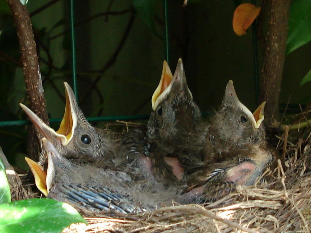 nido di merli in giardino