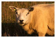 Niederländischer Wolllieferant