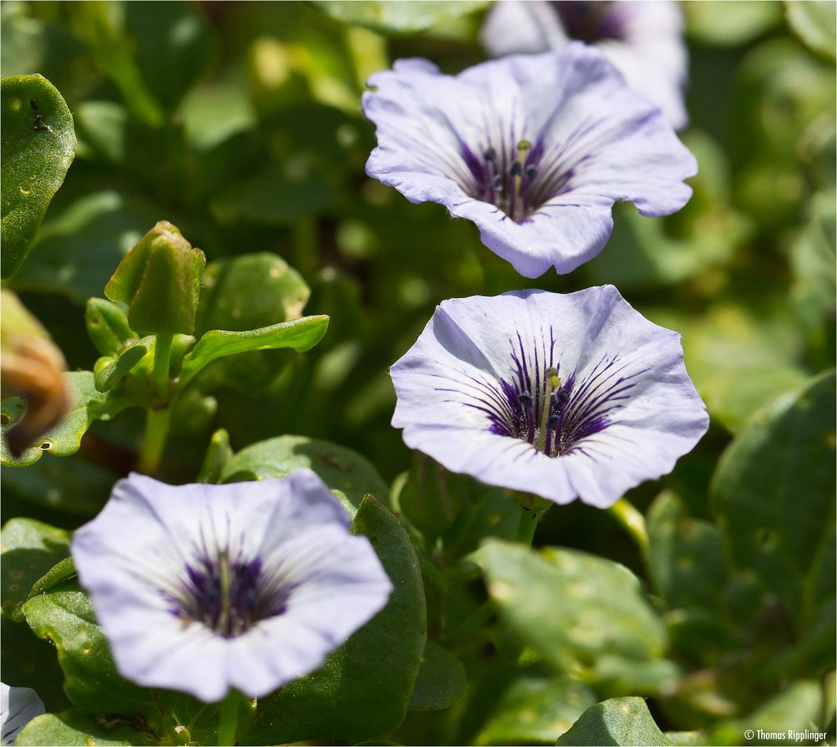 Niederliegende Glockenwinde (Nolana humifusa).