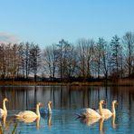 Niederrhein - Naturschutzgebiet Düffel - Schwäne im Morgenlicht
