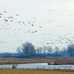 Niederrhein - Nordische Zugvögel - Typische Landschaft