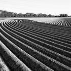 Niederrheinisches Kartoffelfeld
