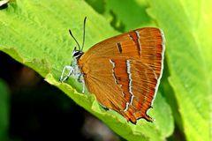 Nierenfleck (Thecla betulae)