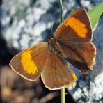 Nierenfleck-Zipfelfalter (Thecla betulae) *
