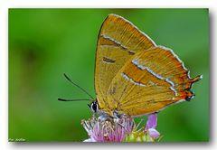 Nierenfleck-Zipfelfalter - Thecla betulae