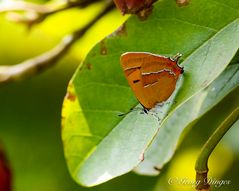 Nierenfleck-Zipfelfalter (Thecla betulae)