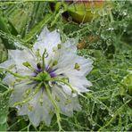 Nigelle de Damas sous la pluie