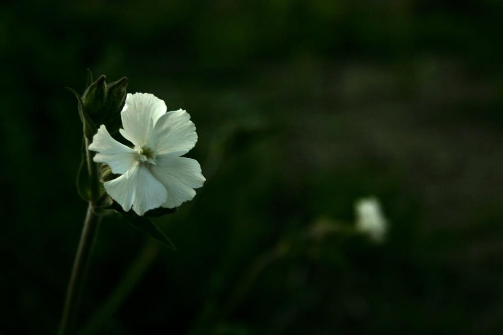 Night Flowering Catchfly