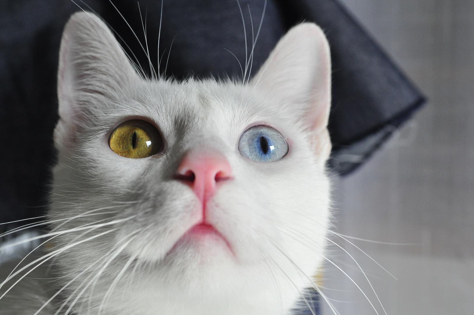Nikkor 35-70mm D f/2.8 - Van kedi / Cat