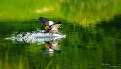Nilgans Landung