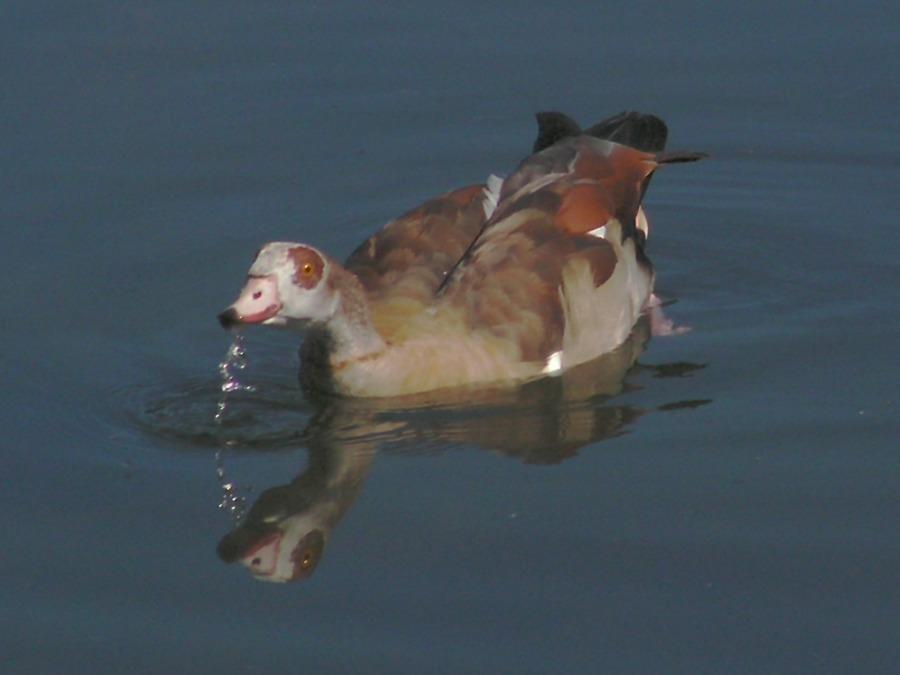 Nilgans mit Spiegelnung im Wasser