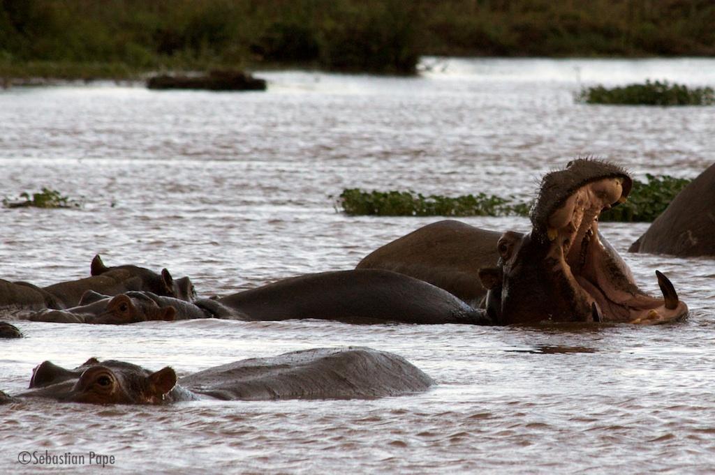 Nilpferd mit männlichem Imponiergehabe