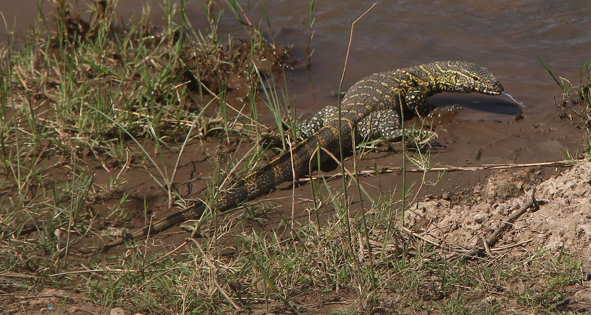 Nilwaran am Ufer des Mara-Rivers