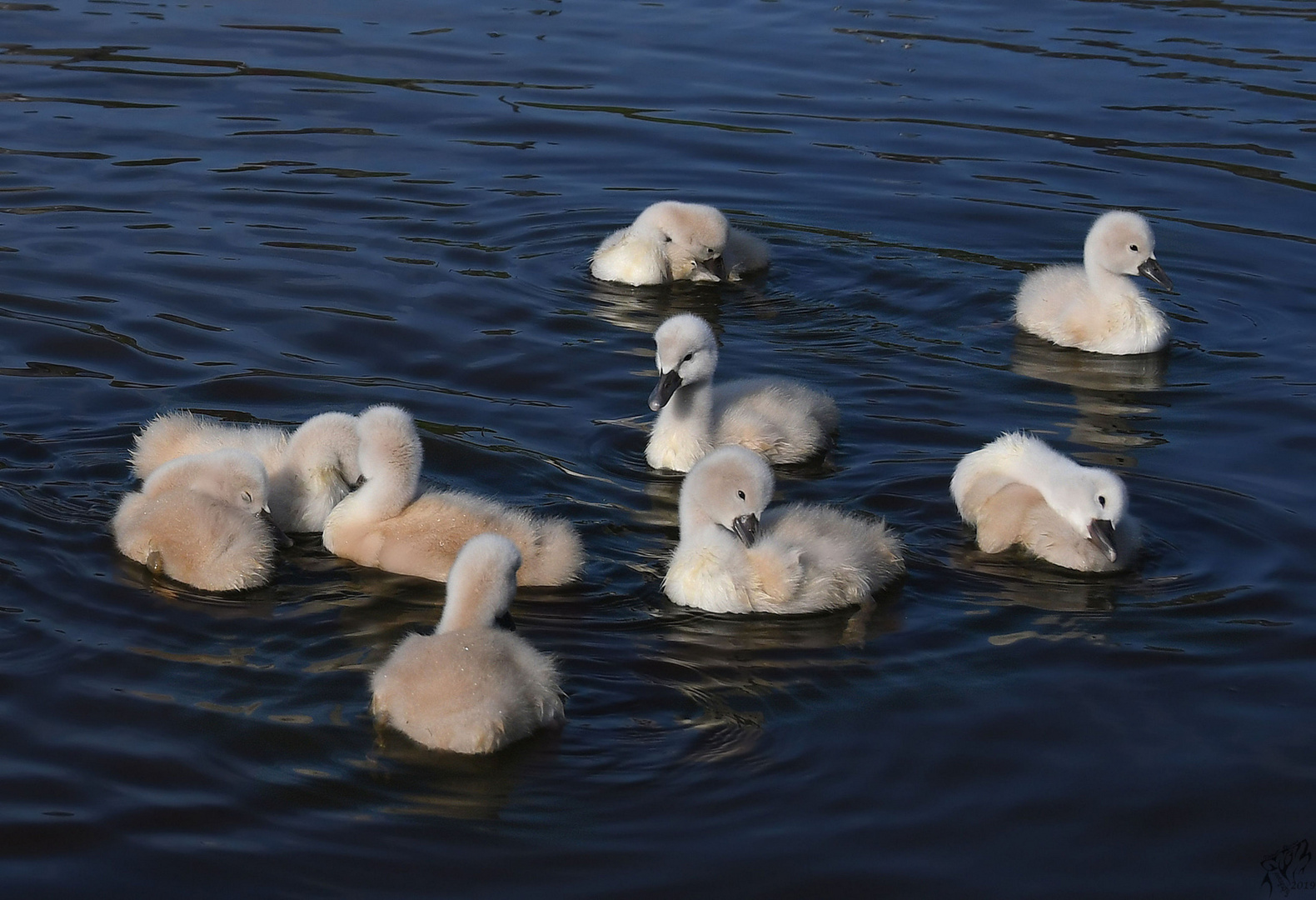 Nine young swans..