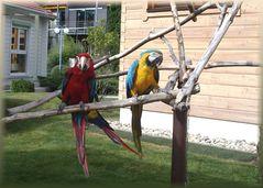 noch 2 Papageien in einem Freigehege
