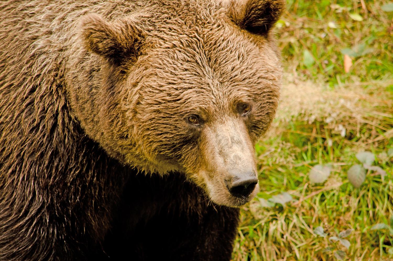 Noch ein Bärenportrait