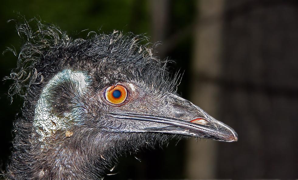 noch ein emu