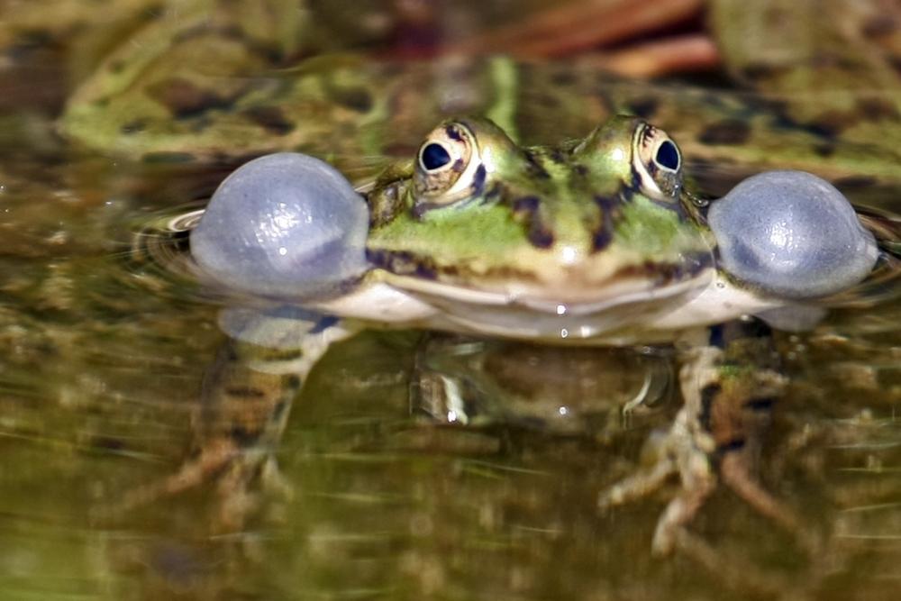 noch ein Frosch....