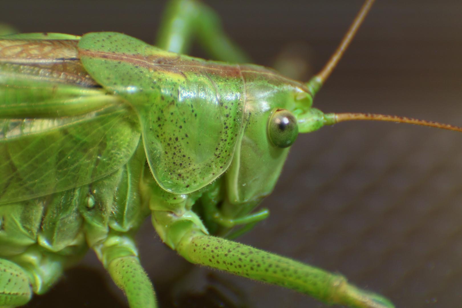 noch ein Grasshopper 2