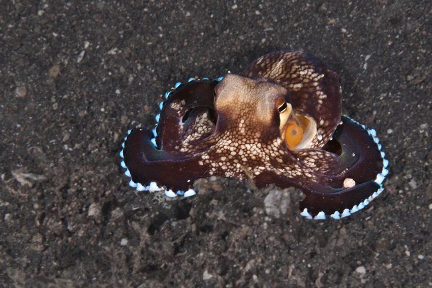 Noch ein Kokusnuß-Oktopus, Lembeh 2009