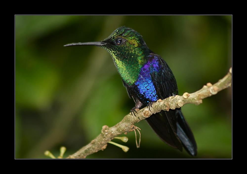 noch ein Kolibri