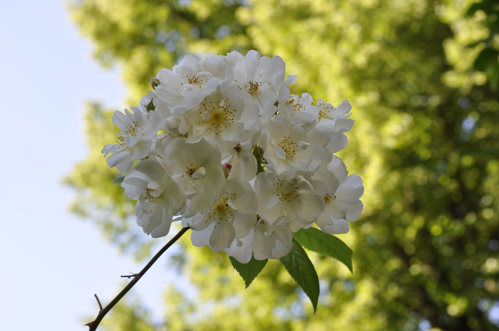 Noch ein letzter Rosengruß aus unserem Garten