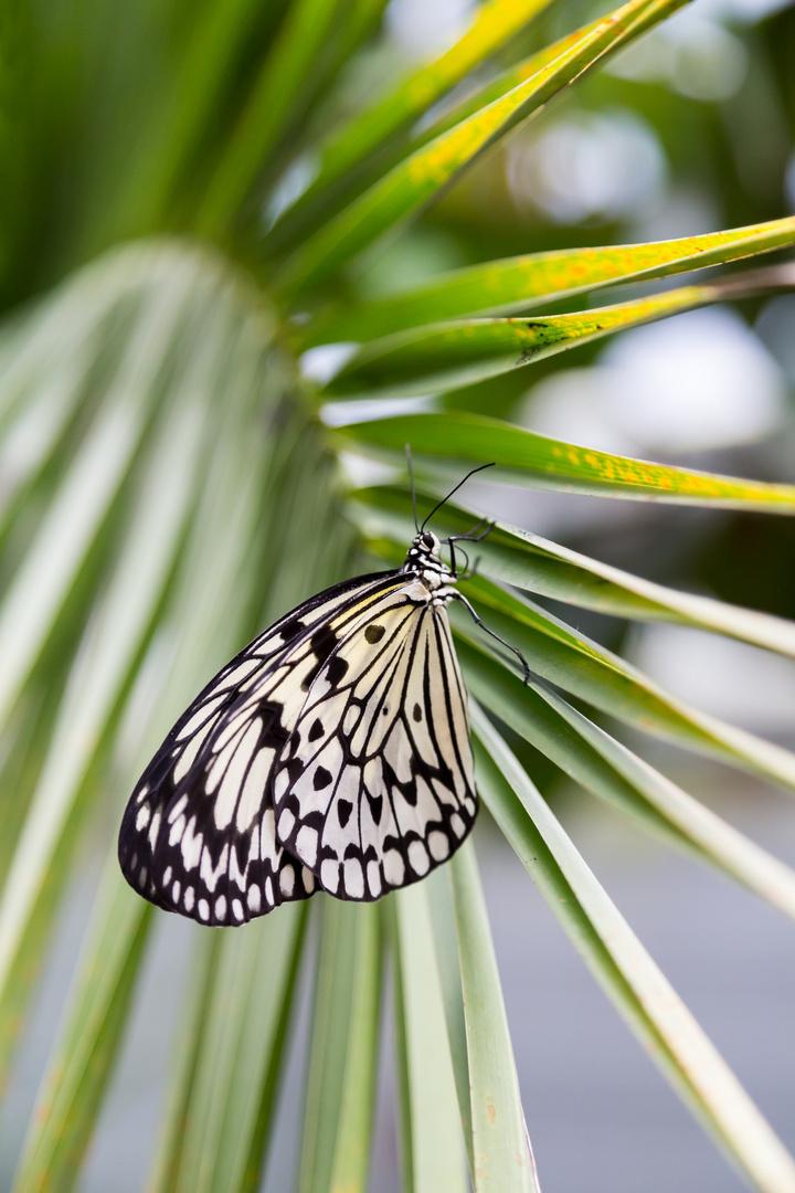 Noch ein Schmetterling...