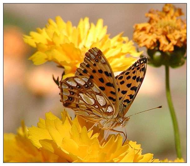 Noch ein Schmetterling....