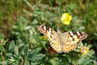 noch ein Schmetterling